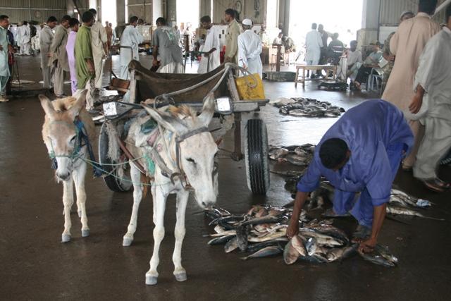 Baluchistan - Fish handling in auction hall